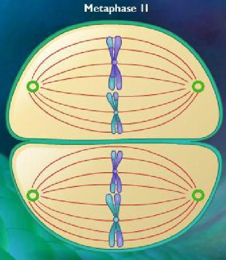 ... Paramecium Binary Fission additionally Mitosis Meiosis Worksheet
