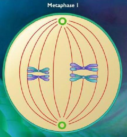 Metaphase I, meiosis