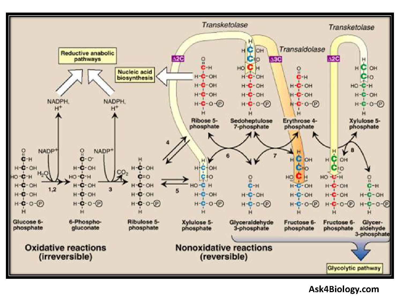 Pentose Phosphate Pathway, Hexose Monophosphate Shunt, HMP Shunt
