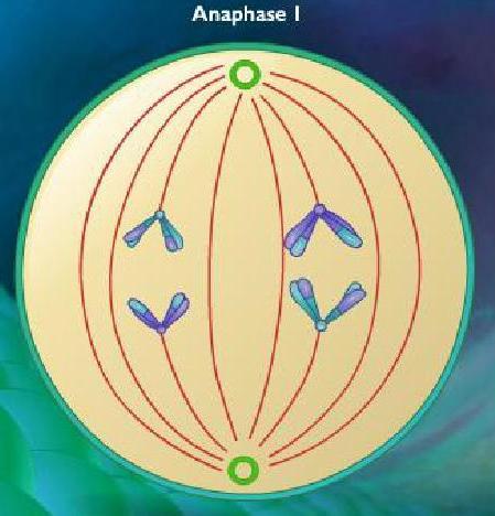Anaphase I, meiosis