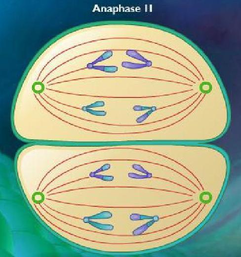 Anaphase II, meiosis