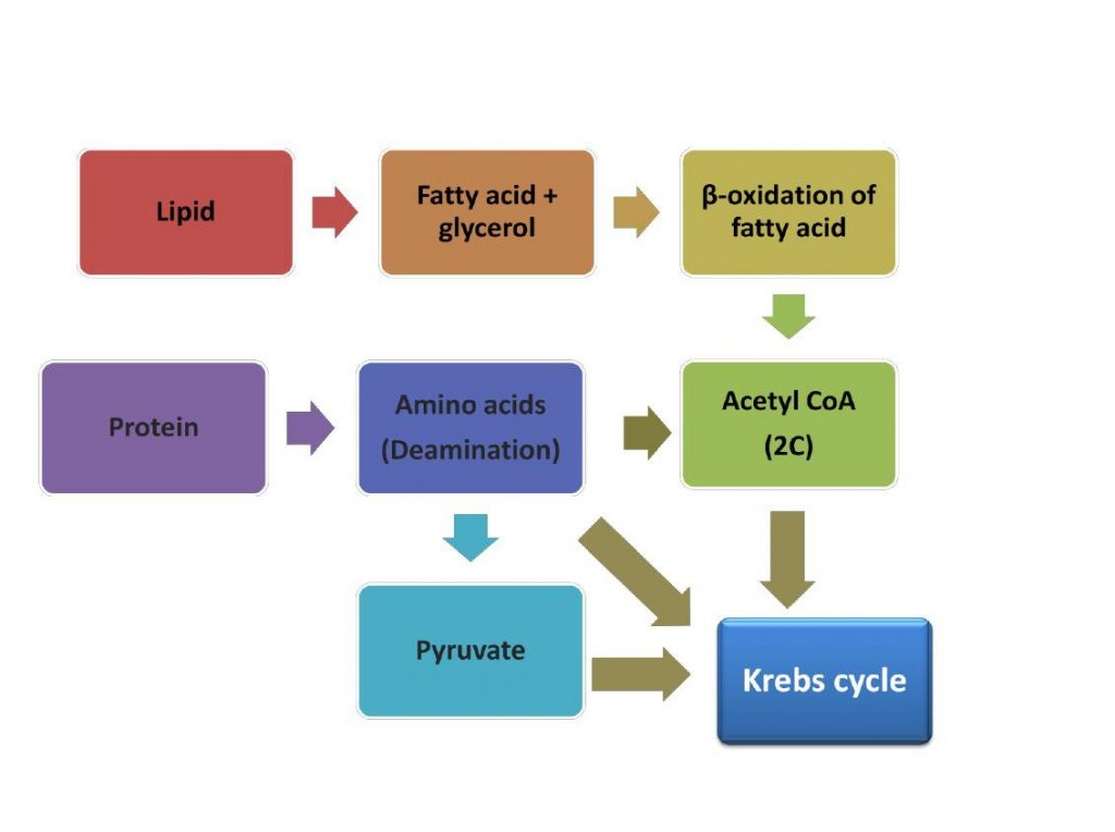Protein, Carbohydrate, Lipid, Energy, Catabolism, ATP, Krebs Cycle, Acetyl CoA