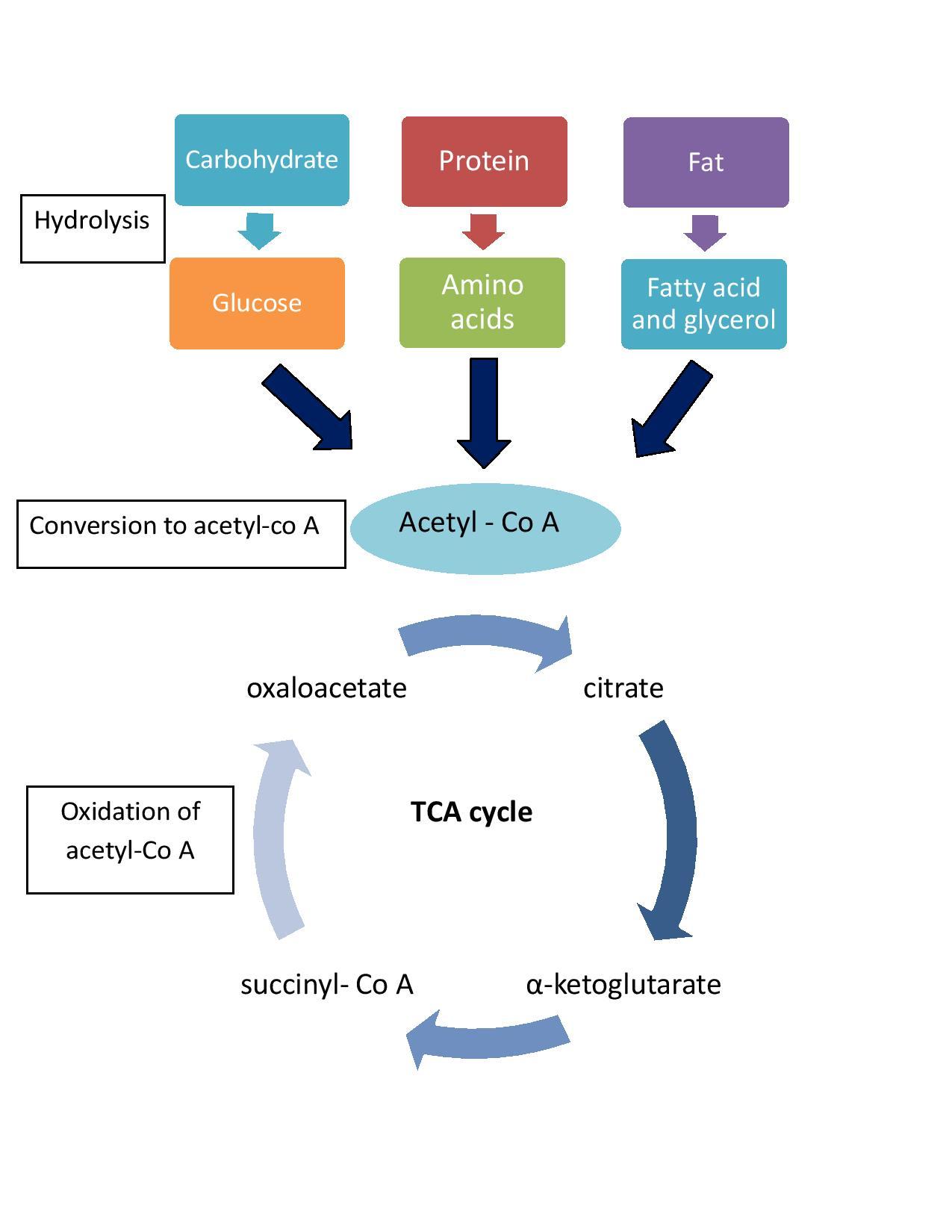 Energy, ATP, Hydrolysis