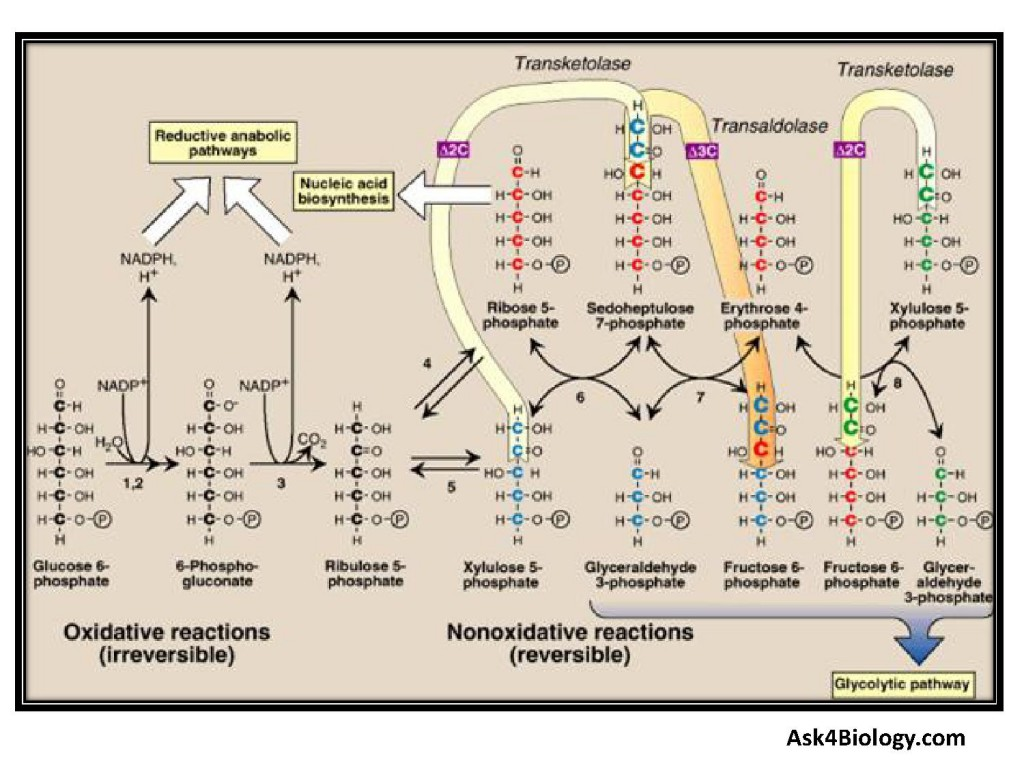 Figure 1: Pentose Phosphate Pathway, Hexose Monophosphate Shunt, HMP Shunt