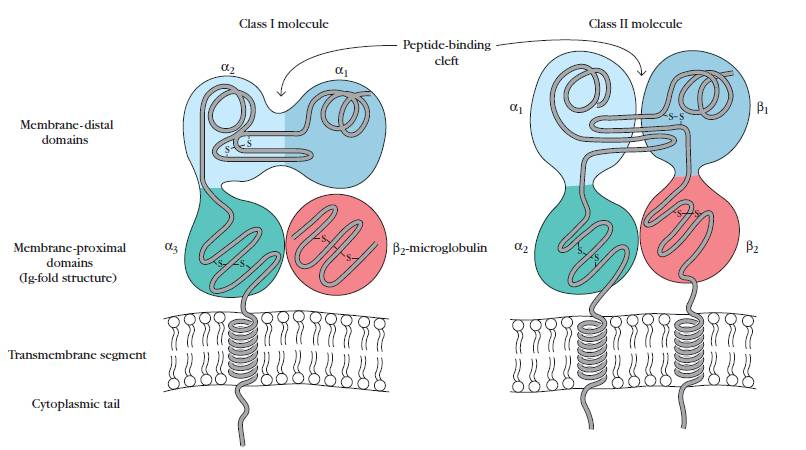 MHC Class I and II